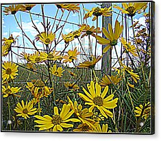 Acrylic Print featuring the photograph Yellow Flowers By The Roadside by Alice Gipson