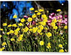 Yellow Flowers Acrylic Print by Yew Kwang