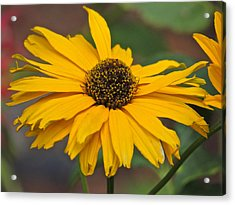 Acrylic Print featuring the photograph Yellow Gerber Daisy by Eve Spring