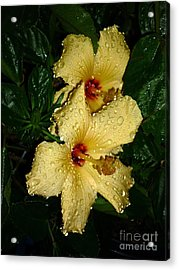 Acrylic Print featuring the photograph Yellow Hibiscus After The Rain by Renee Trenholm