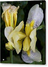Yellow Iris Acrylic Print by Michael Friedman