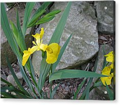 Yellow Iris Acrylic Print by Suzanne Fenster