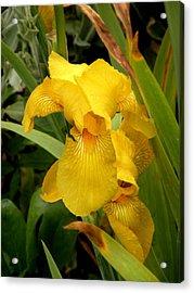 Yellow Iris Tasmania Australia Acrylic Print by Sandra Sengstock-Miller