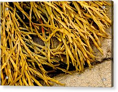 Acrylic Print featuring the photograph Yellow Kelp by Brent L Ander