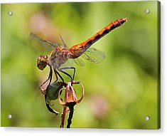 Yellow-legged Meadowhawk  Acrylic Print by Juergen Roth