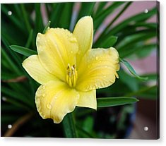 Yellow Lilly Acrylic Print by Cathie Tyler