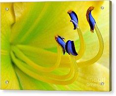 Yellow Lily Acrylic Print by Judi Bagwell