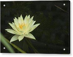 Yellow Lotus Acrylic Print by Lisa Missenda