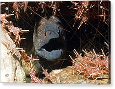 Yellow-margined Moray Acrylic Print by Georgette Douwma