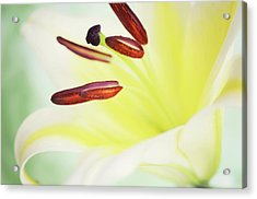 Yellow Mellow Acrylic Print by Dhmig Photography
