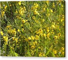Yellow Mesquite Acrylic Print