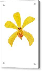 Yellow Orchid Acrylic Print by Atiketta Sangasaeng