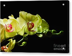 Yellow Orchids Acrylic Print by Elaine Manley