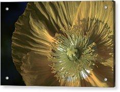 Yellow Poppy Shine Acrylic Print