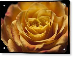 Yellow Rose Bud Acrylic Print by Zoe Ferrie