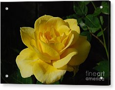 Yellow Rose Close Up Acrylic Print