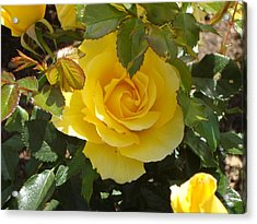 Yellow Rose Of California Acrylic Print by James Hammen