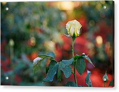 Yellow Rose Acrylic Print by Timothy Turner