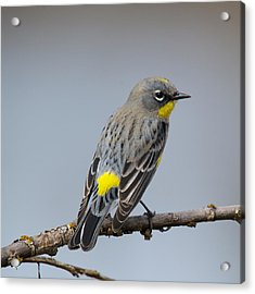 Yellow-rumped Warbler Acrylic Print by Bob Smithing