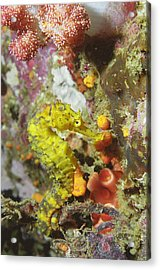 Yellow Seahorse Acrylic Print by Peter Scoones