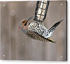 Acrylic Print featuring the photograph Yellow-shafted Northern Flicker Feeding by Edward Peterson