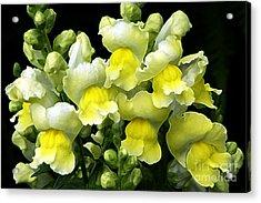 Yellow Snapdragons Enhanced Acrylic Print by Sharon Talson