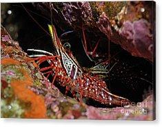 Yellow Snout Red Shrimp Acrylic Print by Sami Sarkis