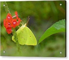 Yellow Sulfur Butterfly Acrylic Print by Judy Wanamaker