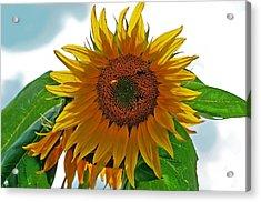 Yellow Sunflower Acrylic Print by Susan Leggett