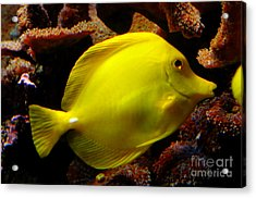 Yellow Tang Acrylic Print by Pravine Chester