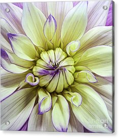 Yellow Tinged Mandahlia Acrylic Print
