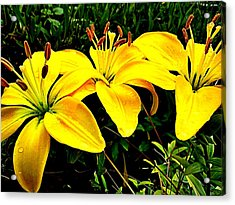 Yellow Triad Of Lilies Acrylic Print by Kevin D Davis
