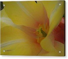 Yellow Tulip Trumpet Acrylic Print
