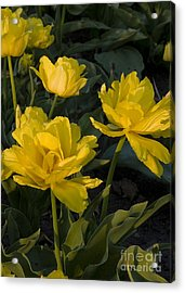 Yellow Tulips  Tulipes Jaune Acrylic Print by Nicole  Cloutier Photographie Evolution Photography