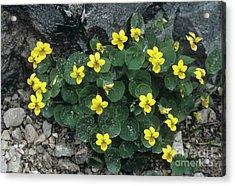 Yellow Wood Violet Flowers, Viola Biflora Acrylic Print by Bob Gibbons
