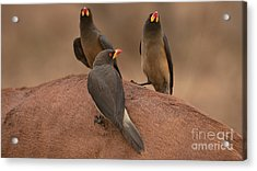 Yellowbilled Oxpecker Acrylic Print