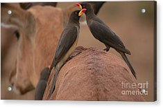 Yellowbilled Oxpeckers Acrylic Print