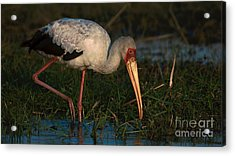 Yellowbilled Stork Acrylic Print
