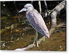 Yelow-crowned Night Heron 1 Acrylic Print by Joe Faherty