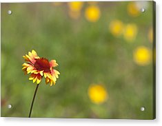 Acrylic Print featuring the photograph Yep...a Flower by John Crothers