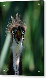 Yikes Acrylic Print by Skip Willits