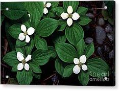 Yoho - Bunchberry Dogwood 1 Acrylic Print by Terry Elniski