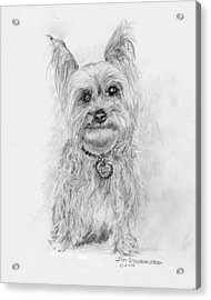 Acrylic Print featuring the drawing Yorkshire Terrier by Jim Hubbard