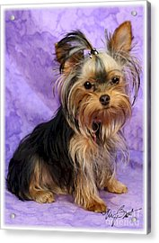 Yorkshire Terrier Pup Acrylic Print by Maxine Bochnia