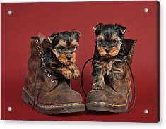 Yorkshire Terrier Puppies  Acrylic Print by Marta Holka