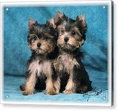 Yorkshire Terrier Pups 2 Acrylic Print by Maxine Bochnia