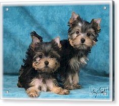 Yorkshire Terrier Pups 3 Acrylic Print by Maxine Bochnia