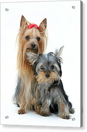 Yorkshire Terriers Acrylic Print by Jane Burton