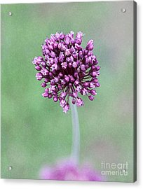 Yorktown Onion Acrylic Print by Marilyn West