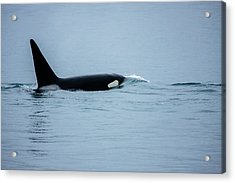 Young Bay Orca Acrylic Print by Josh Whalen